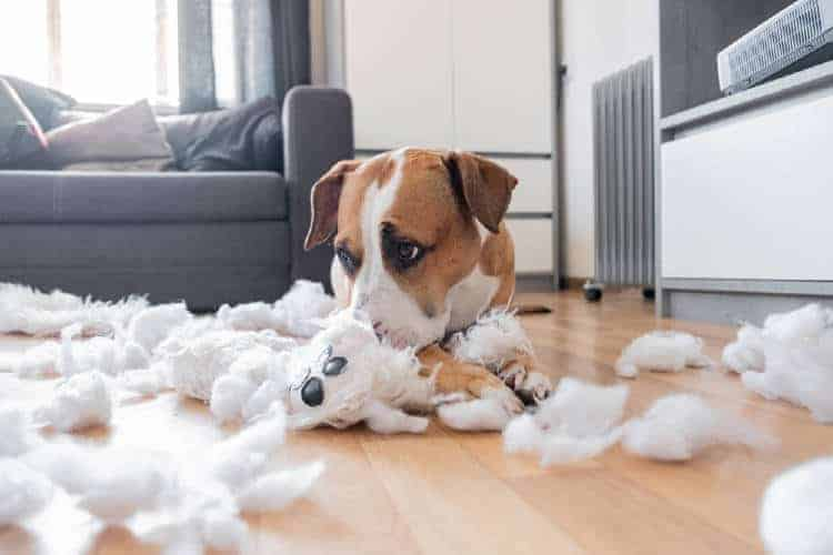 This dog chewed up a pillow. He will be disciplined and will learn from the experience