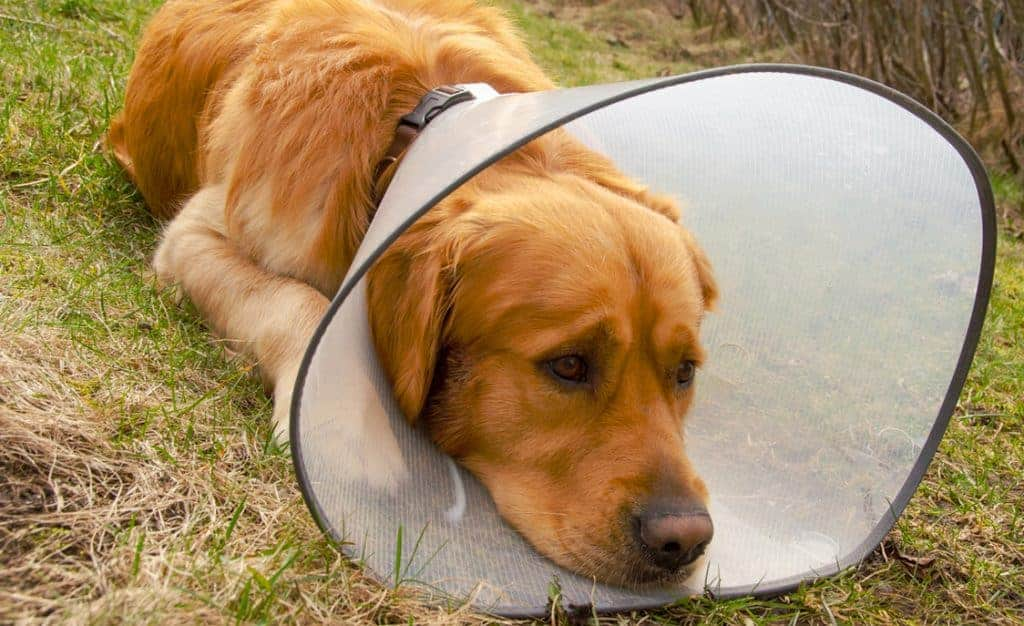 Hot spots can be extremely painful for dogs and may even cause them to wear a cone.