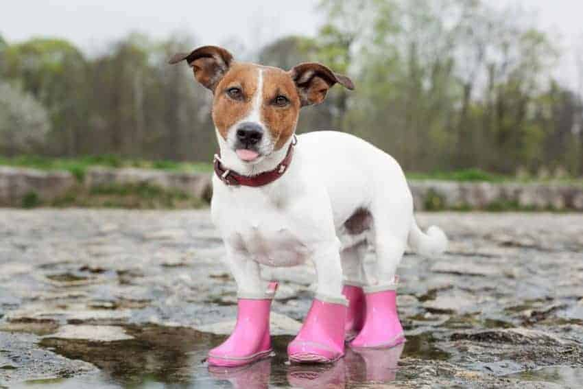 If you want to keep your dog warm in cold weather, boots are a great option.