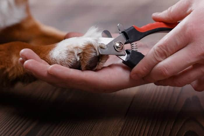 Cutting a dogs nail too short can be painful for your pup, but the good news is it will heal and you can stop the bleeding quickly.