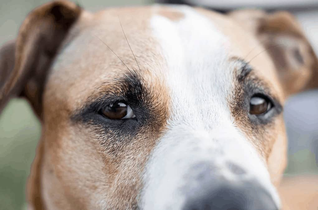 This dog has a serious eye condition that could lead to blindness