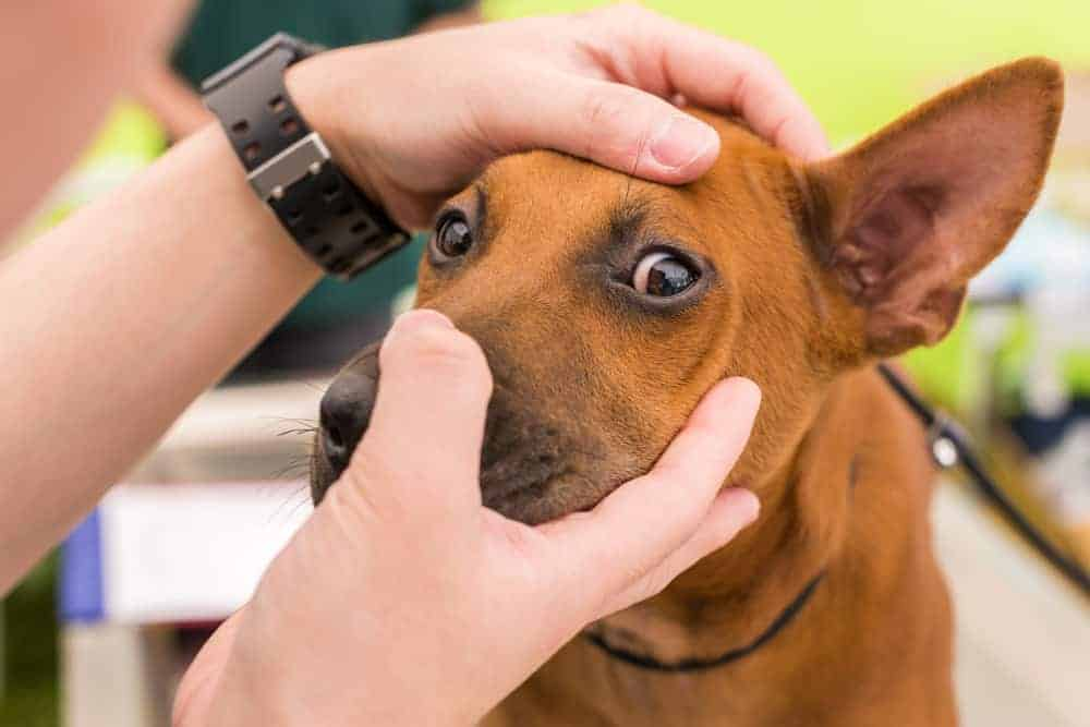 There are a lot of eye conditions in dogs, but six are way more common than the rest.