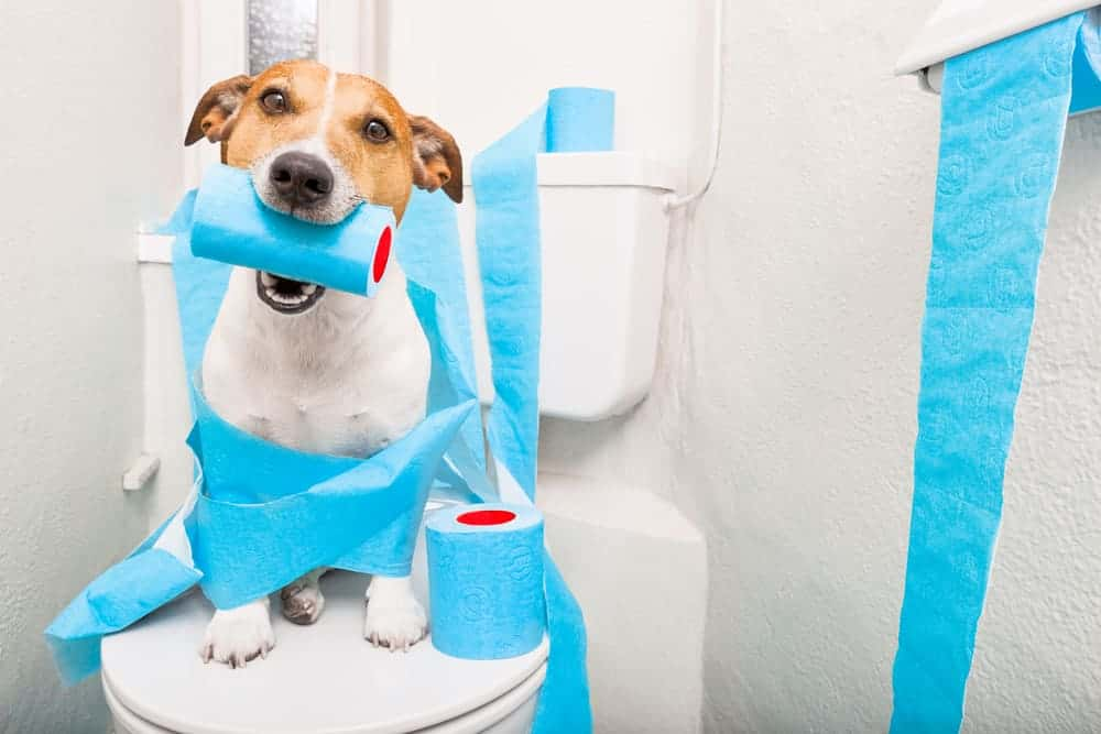 Dogs that don't poop for more than two days should get evaluated by a doctor