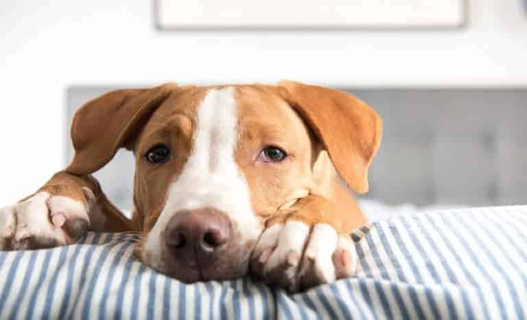 Dogs can't live too long with bloat. In some cases, they can only live a few minutes.