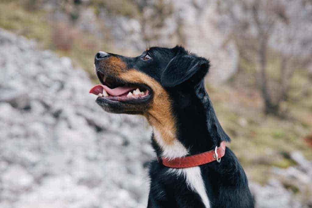 If a dog collar is too tight it can cause skin irritation. Too lose and it can strangulate. This dog is wearing the proper fitting collar.