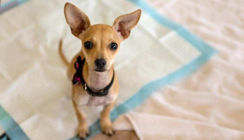 potty training your puppy on pads can make life much easier if you know what you are doing.