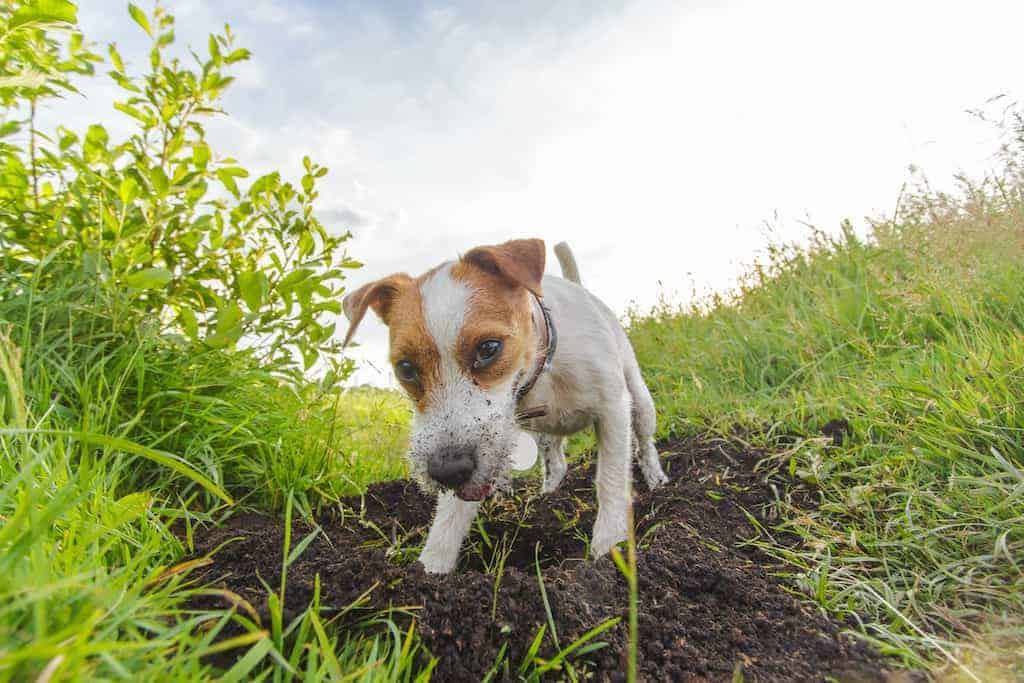 It can get extremely annoying when a dog begins to dig holes. This is how you put an end to this poor behavior