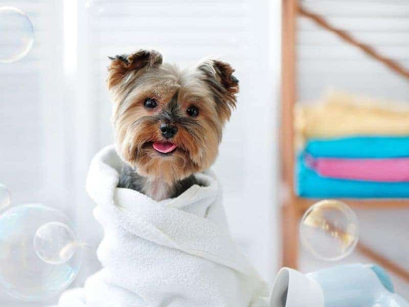 If you have a new puppy, you may want to consider bathing them as soon as possible, but do it in a safe way