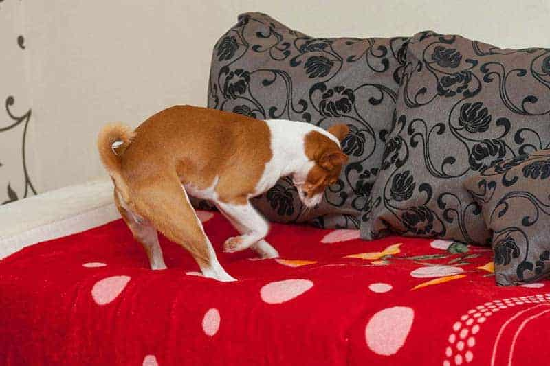 If your dog has been scratching the bed, you might find this behavior strange. Here's 3 reasons they do it.