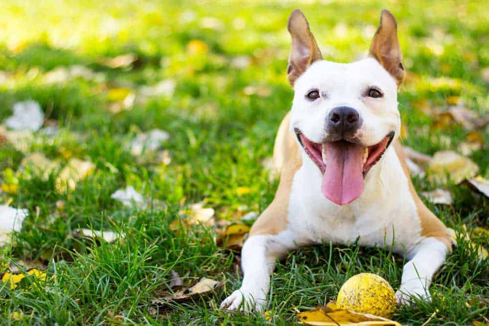 dog smiling on the grass with a tennis ball