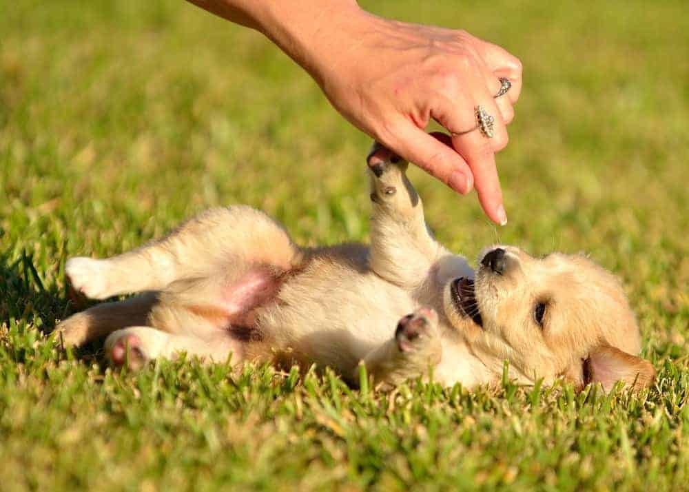 Have you ever wanted to know how important playing with your puppy is? Here are 5 ways to play with your new puppy