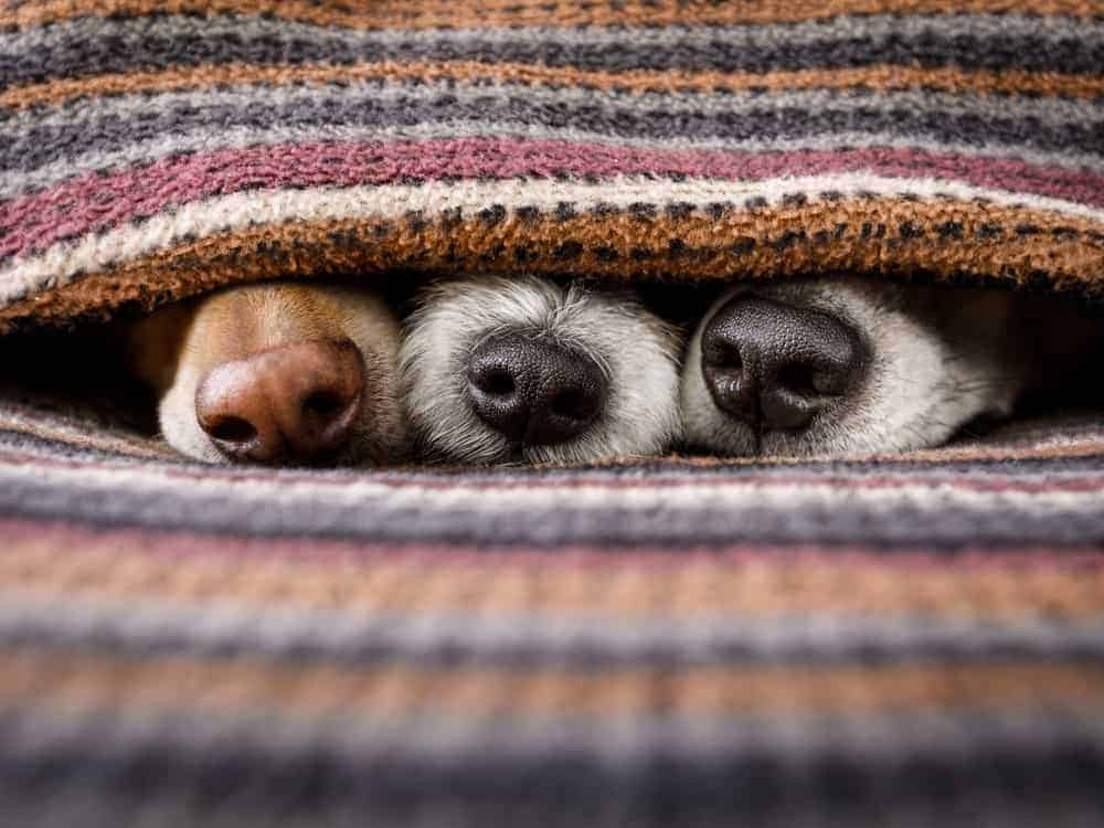 Have you ever wondered why your dogs nose changes colors during cold weather? it's called snow nose and the dog on the left has it.