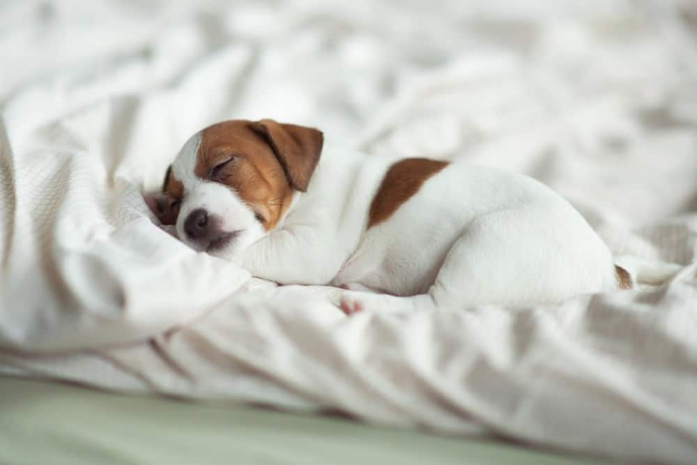 if you're afraid your puppy might be breathing too fast when sleeping, you likely don't have anything to worry about