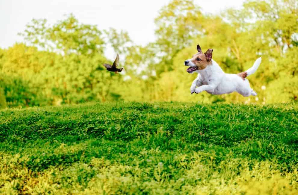 Taming prey drive in dogs might seem difficult, but you can do it with two simple commands