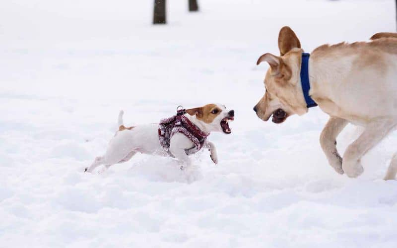 If your younger dog is attacking the older dog, here's why and how you can stop it