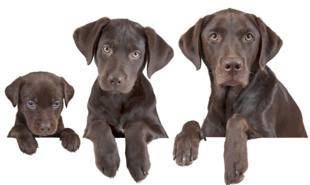 Dogs grow at different rates. Here is a guide to how fast dogs grow based of breed.