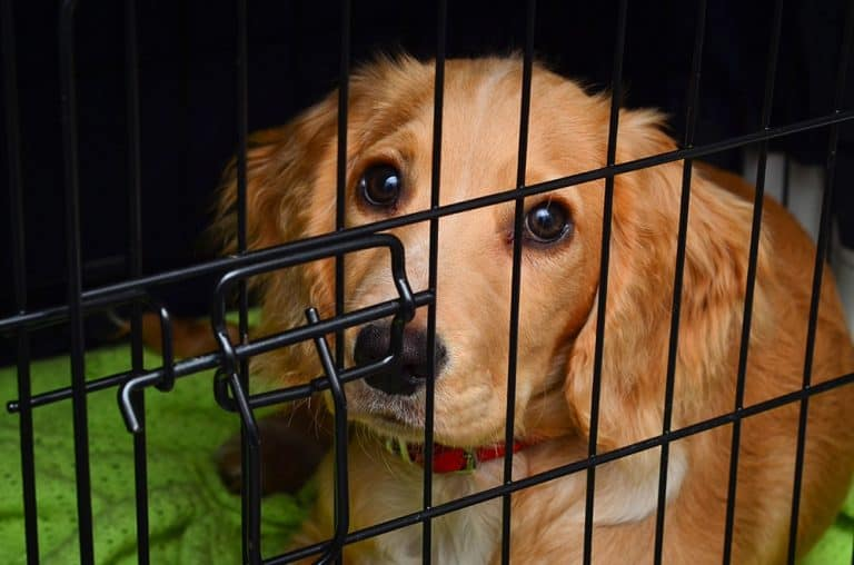 Should you crate your dog while at work? No! It is cruel to crate a dog for longer than five hours