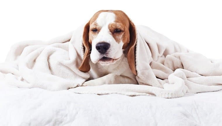 Have you ever wondered why your dog would sound congested? There could be a simple explanation