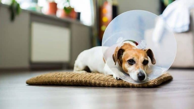 Dogs will become sterile about six weeks after neutering
