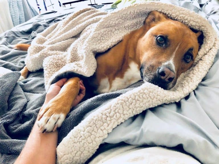 Swaddling a dog can help calm their anxiety and keep them from having a panic attack