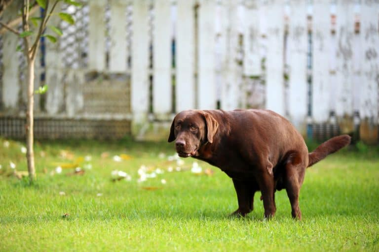 instincts will usually cause a dog to walk in circles while pooping