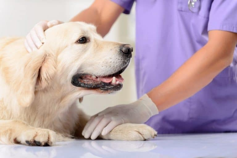 Is your dog limping but not in pain, this could be why