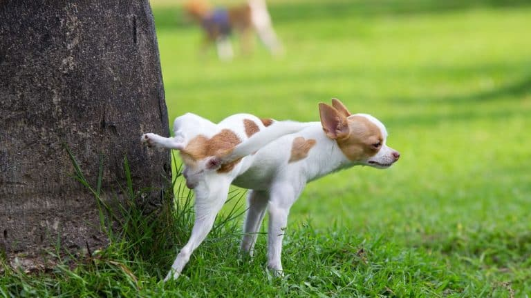 if you have rats, you might be wondering if dog urine attracts rats. The answer is no!
