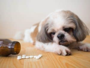 If you're wondering whether a dog can overdose on probiotcs, be sure to take them to the vet just to be safe.
