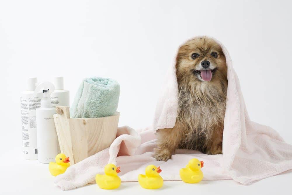 dog just getting out of bath after using hair conditioner and shampoo