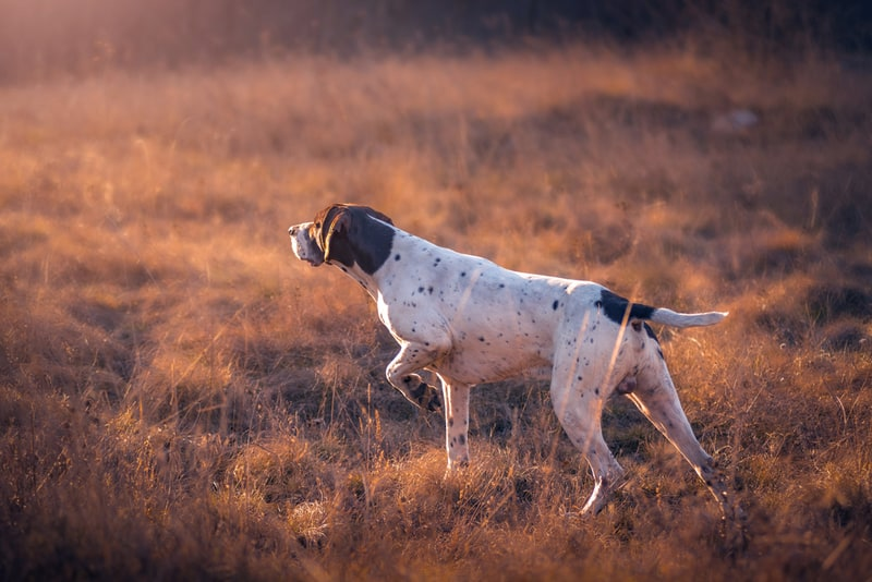 Not every dog points, but most hunting dogs do