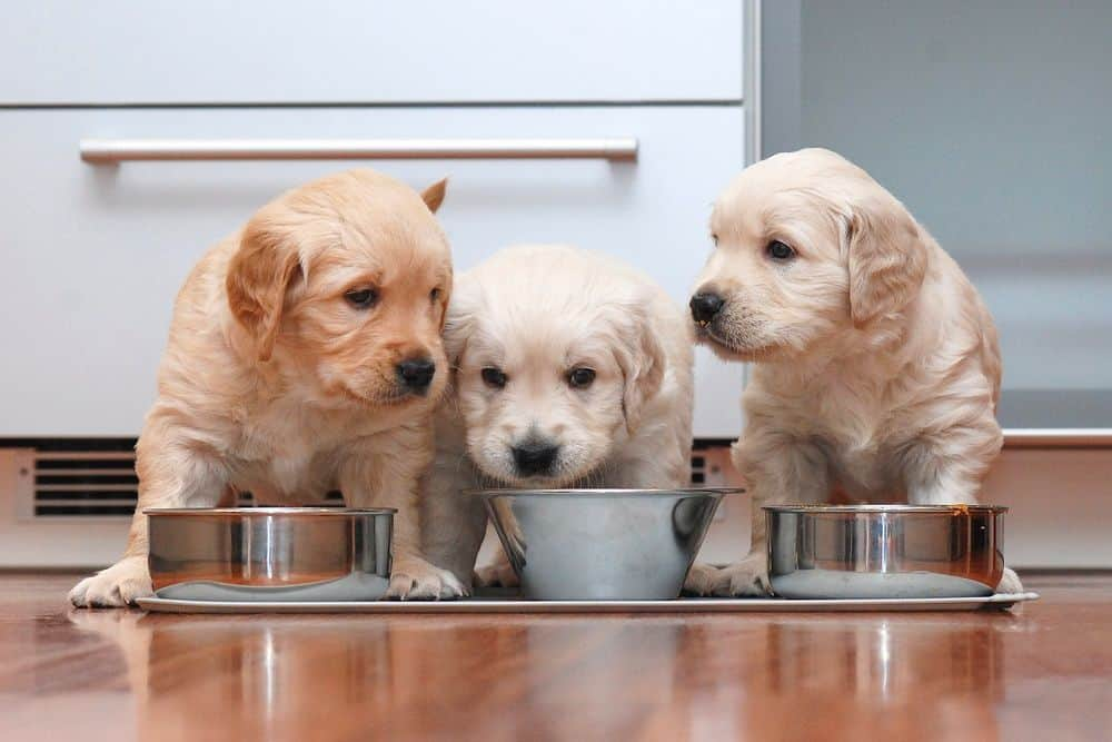 Puppies should poop 15 minutes after each meal. As they get older they'll be able to hold it in longer