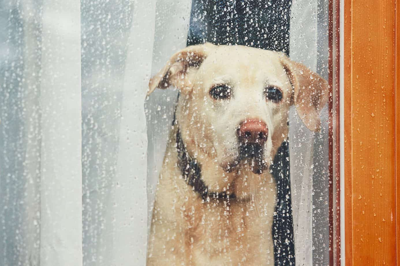 Rain does not hurt dog ears, but not all dogs love it.