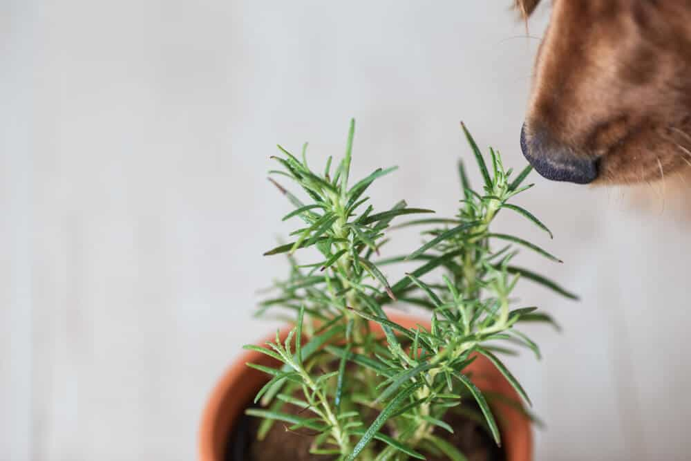 If you're looking for the best herbs for dog allergies, give these three a try