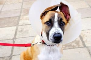 dog with a cone on after getting neutered