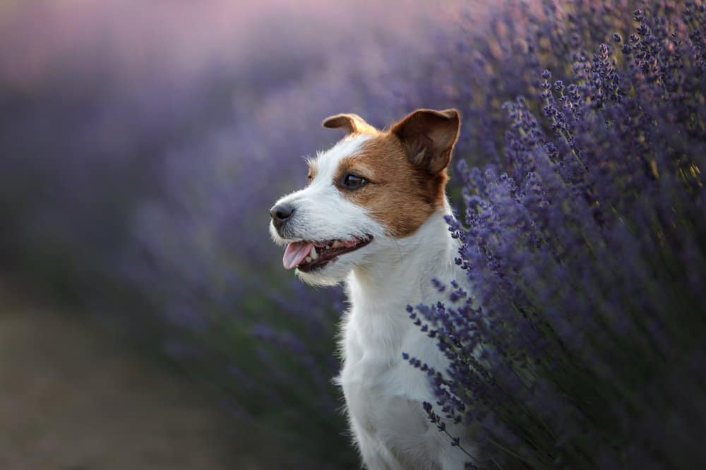Dogs who suffer from anxiety can greatly benefit from lavender oil