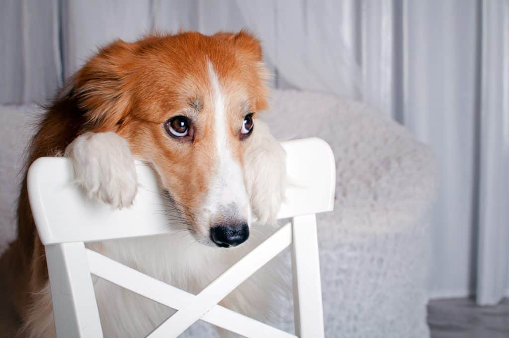 dog leaning on chair and needing attention