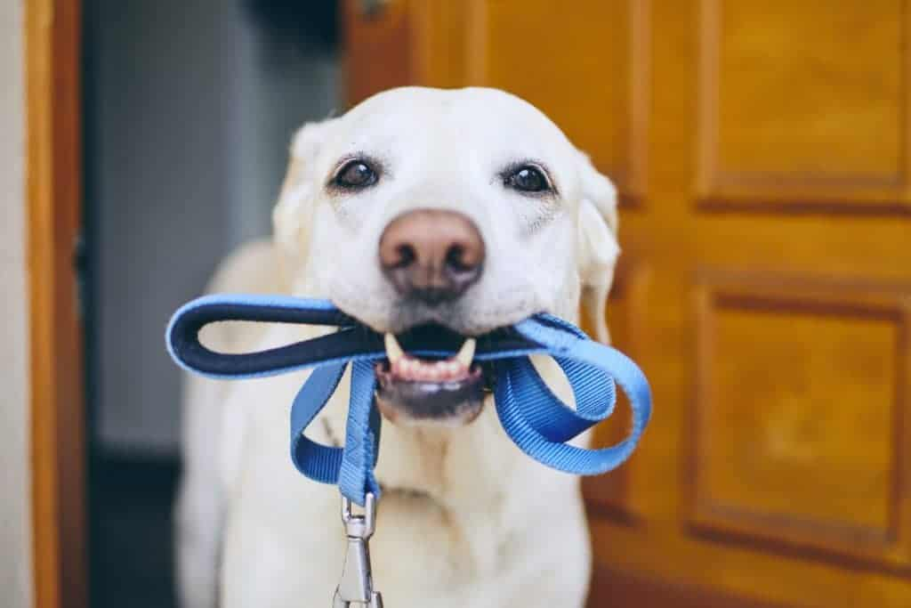 dog holding a leash because they hate the gentleleader