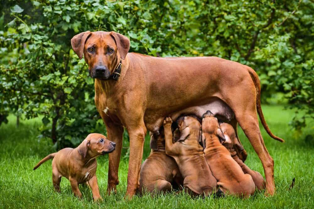 If you noticed a mother dog eating her puppies poop, you're probably wondering why.