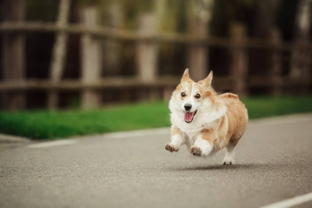 dog chasing a car out into the street
