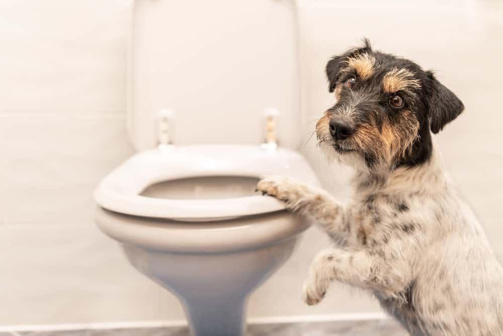 dog by toilet because of diarrhea at night