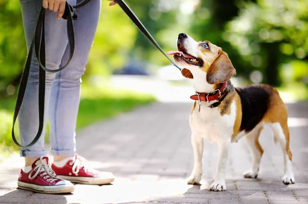 dog looking up and walking in circles around owner