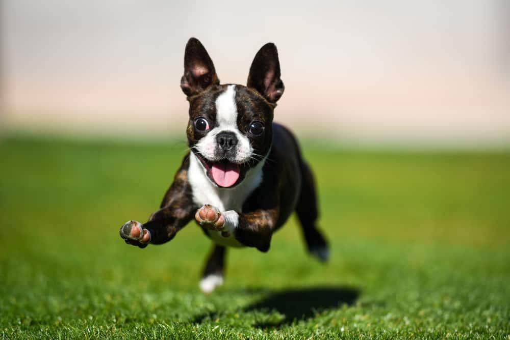 super hyper dog running around at the park