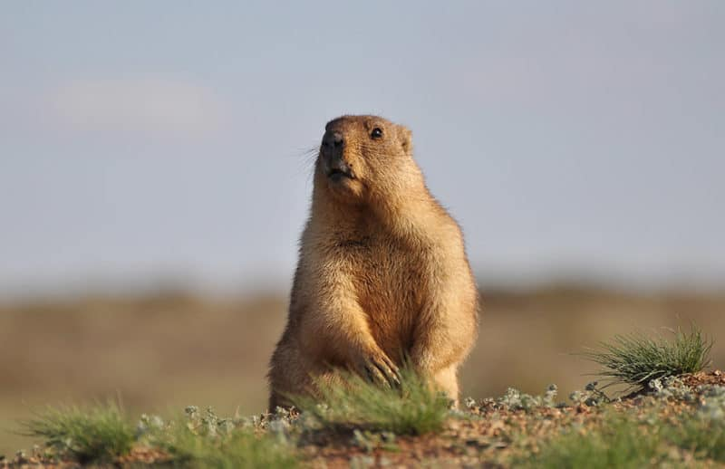 Groundhogs will not attack a dog unless they feel like they are being threatened
