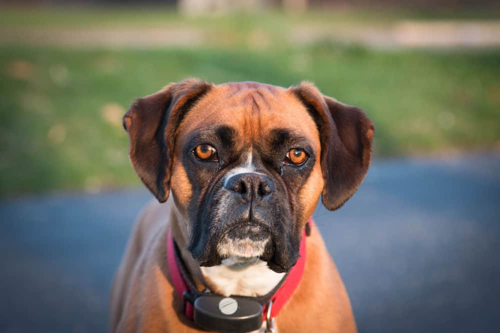 Shock collars are a great training tool, but they should not be used on aggressive dogs