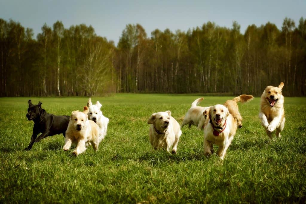 dogs running in a pack