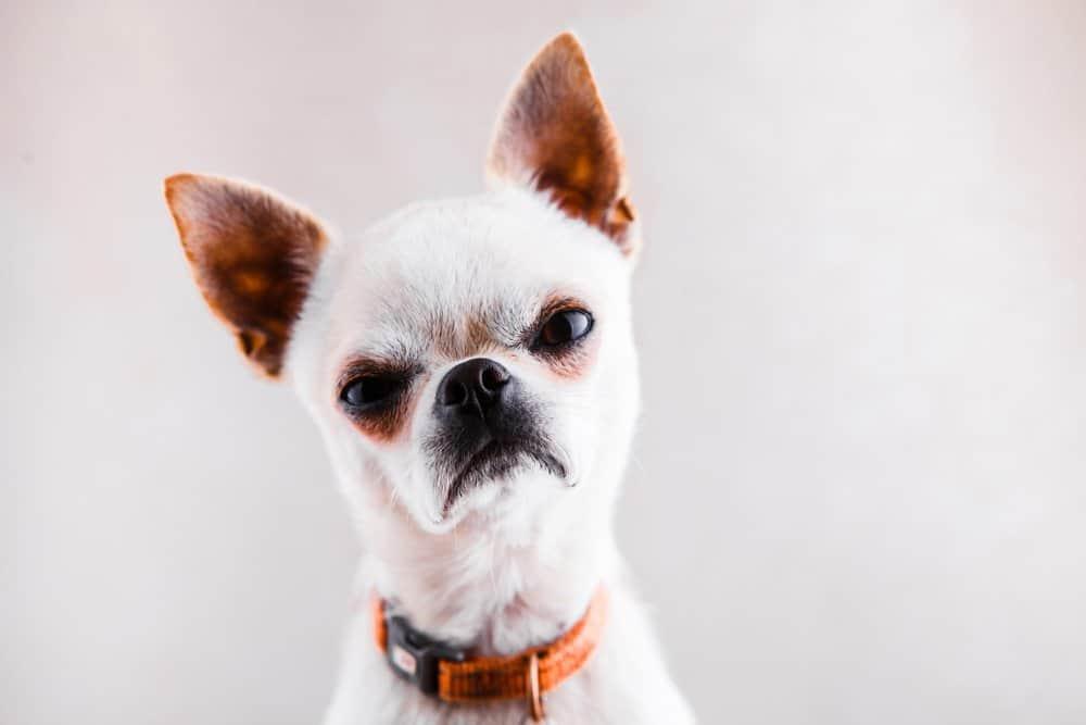 angry dog growling
