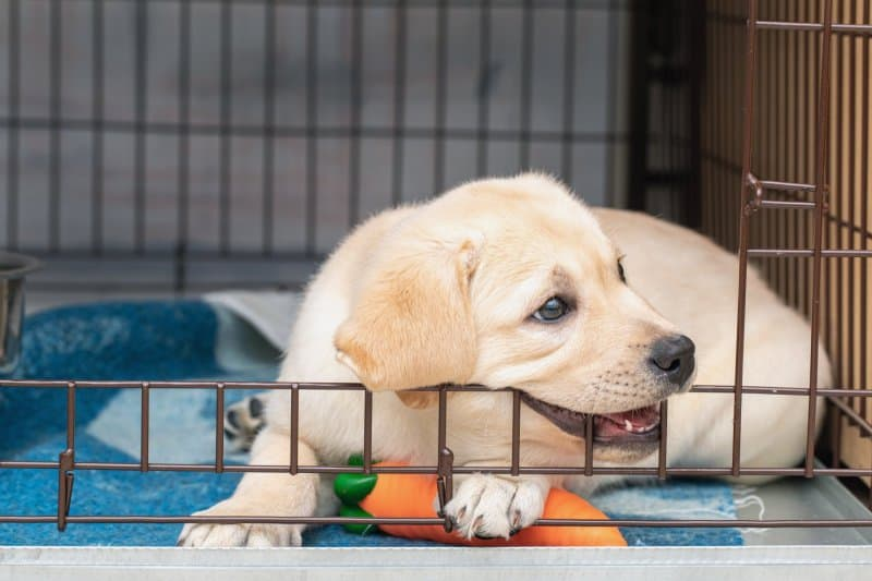 Puppy chewing on his crate