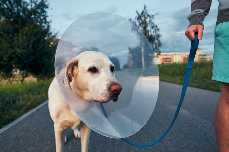 dog walking while wearing a cone