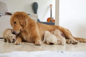dog feeding her puppies after giving birth