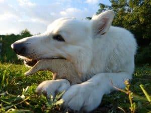 dog eating deer antlers